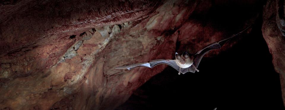 Un Rhinolophe euryale dans une des grottes d'Oletta, Y. Peyrard