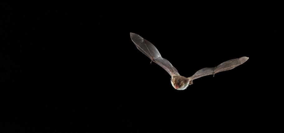 Le Murin de Natterer de Corse ou une potentielle espèce endémique Y. Peyrard